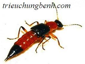Hình ảnh kiến ba khoang