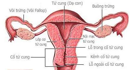 Hình ảnh cơ quan sinh dục nữ