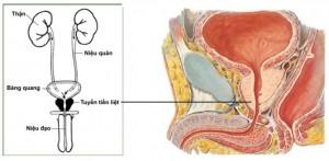 tuyen tien liet la tuyen noi tiet hay ngoai tiet 02 300x147 Nhận biết về triệu chứng viêm tuyến tiền liệt